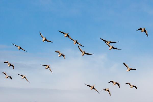 Greylag Geese (Anser anser) in Flight by Phil_Bird