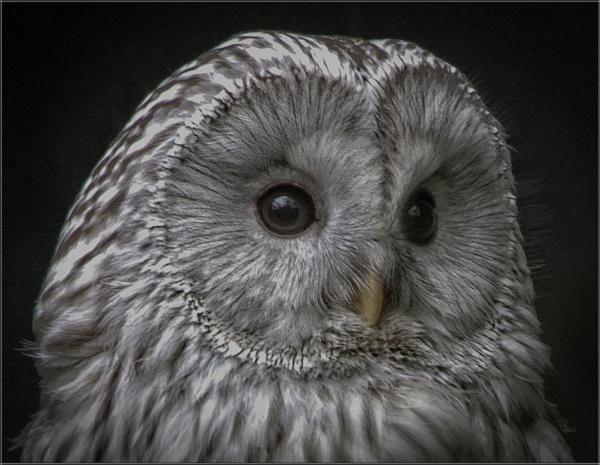 Ural Owl (4) by PhilT2