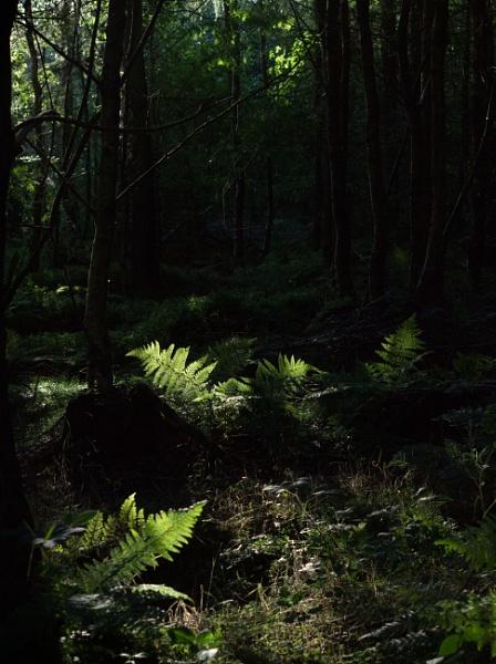 Ferns. by shishidog