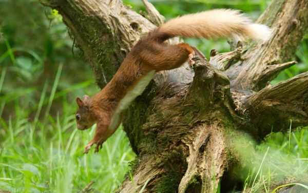 Red Squirrel by Fogey