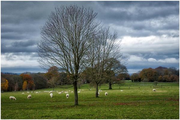 Sheep in Field by sueriley
