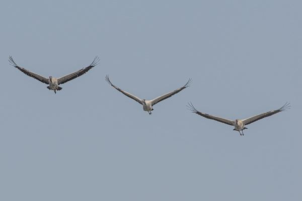 Common crane by robert61