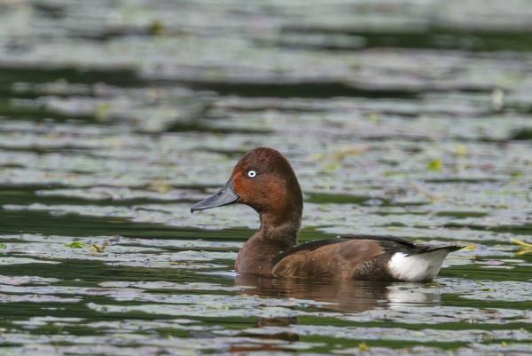 Ferruginous duck by robert61