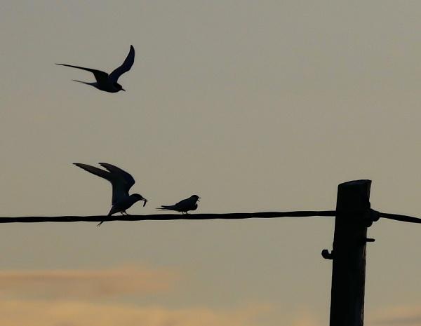 Arctic Terns by hsreid