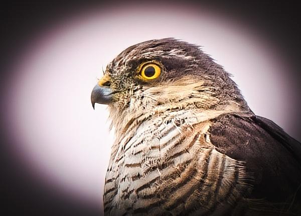 Sparrow Hawk by davidgibson
