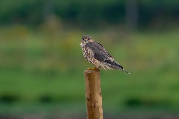 Merlin by terra