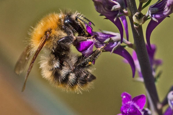 A Common Carder by johnsd