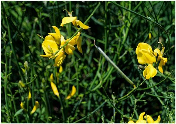 "\"" Common Broom ( Cytisus scoparius ) \"" by badgerwil70"