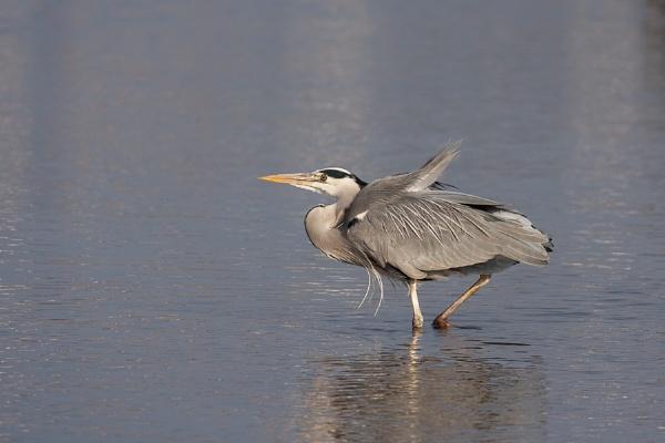 Grey Heron (Ardea cinerea) wading into a lake in London by Phil_Bird