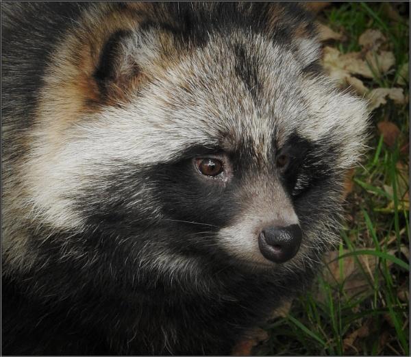 Raccoon Dog Portrait (4) by PhilT2