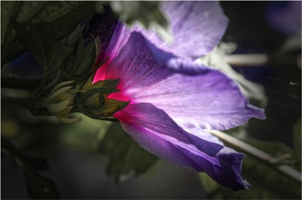 Hibiscus by notsuigeneris