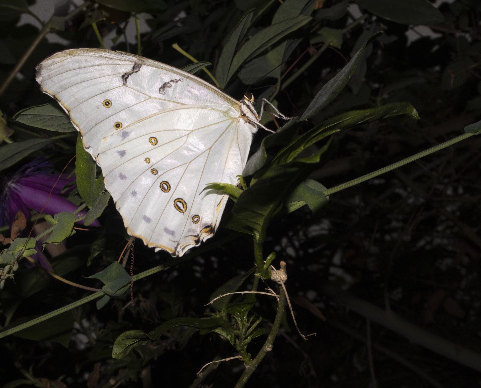 Morpho Polyphemus (White Morpho)