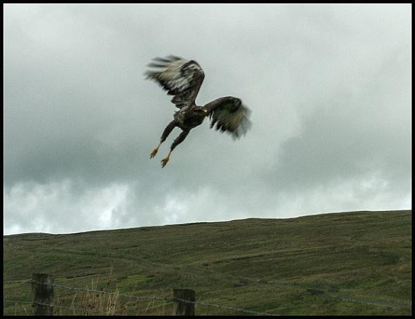 White Tailed Sea Eagle by digichromeed
