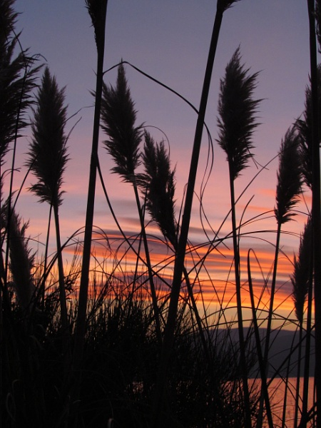 Pampas Grass at Sunset by leanach