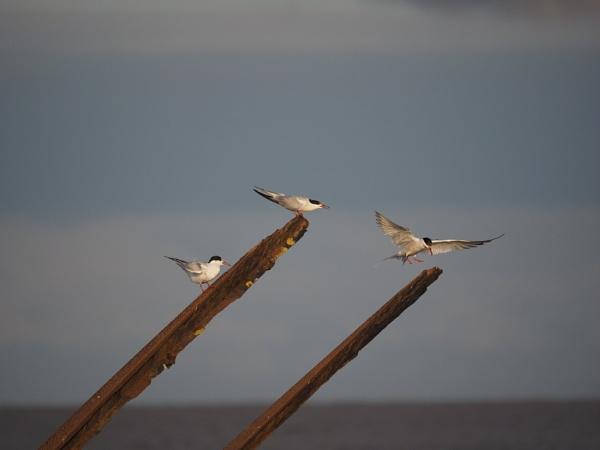 My Tern by GwB