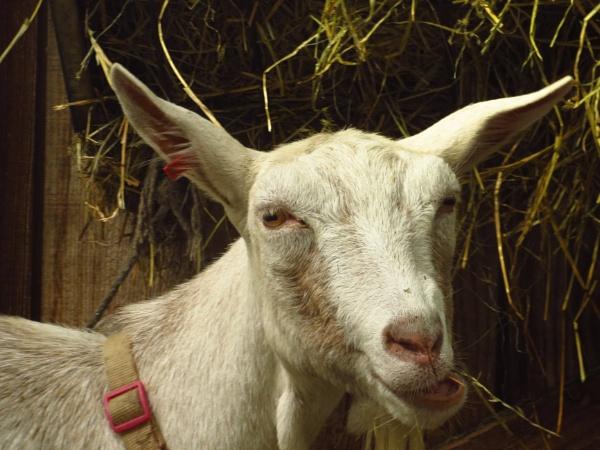 Goat by Samantha011208