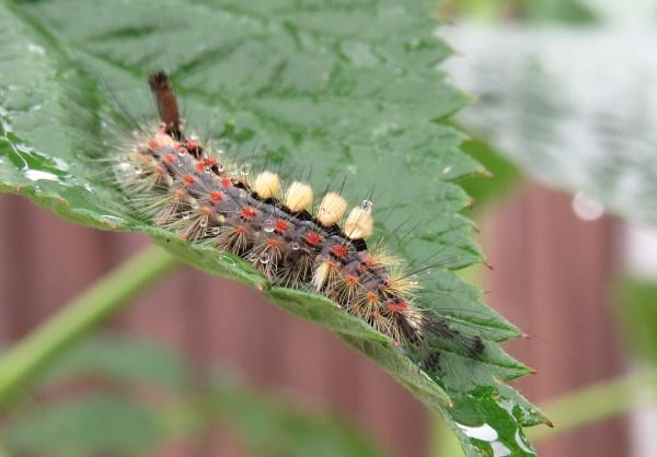 Rusty Tussock Caterpillar by Samantha011208