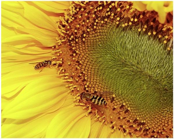 "\""Hoverflies on a Fibonacci Platform\"" by RonnieAG"