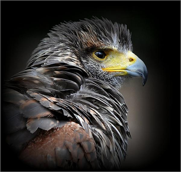 Harris Hawk (13) by PhilT2
