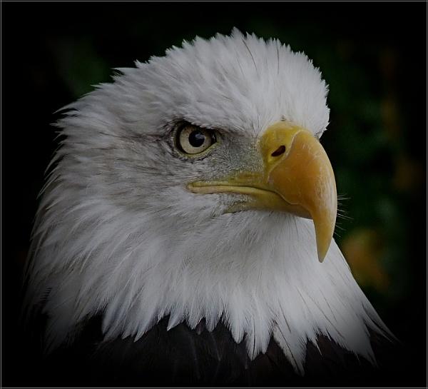 Bald Eagle (6) by PhilT2