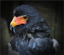 Bateleur Eagle (4)