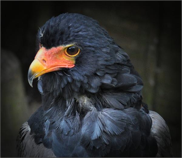 Bateleur Eagle (4) by PhilT2