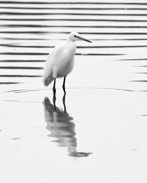 Little Egret by jasonrwl