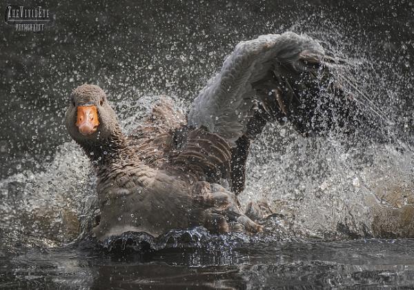 The Goose Splash by MartinWait