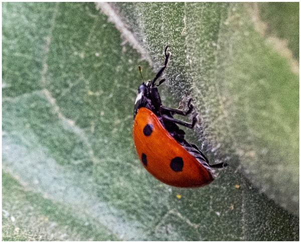 Ladybird by mac