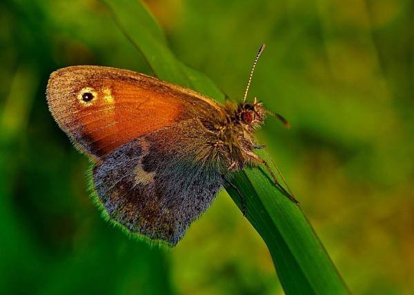 Butterfly Small Heath by georgiepoolie