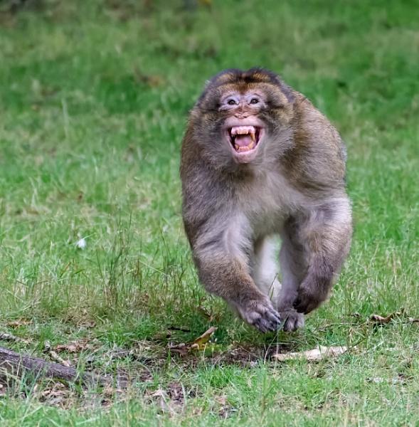 Charging Monkey by Malfun