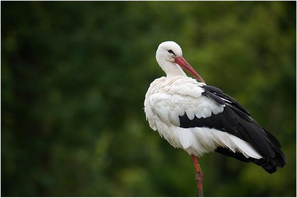 White Stork by johnriley1uk