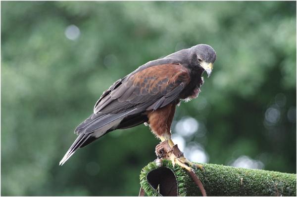 Harris\'s Hawk by johnriley1uk