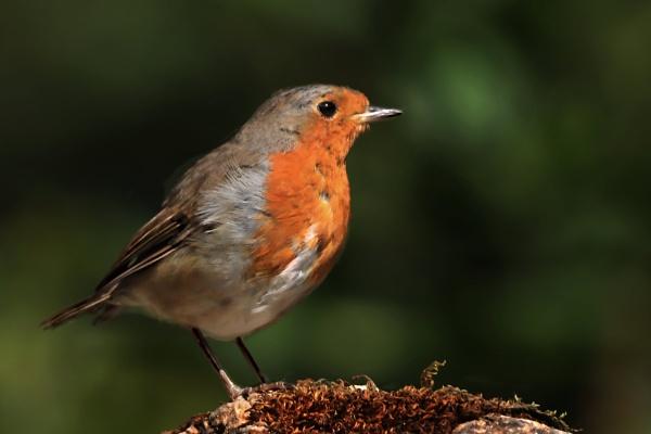 The Friendly Robin. by johnke