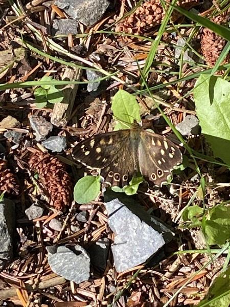 Speckled wood butterfly Doach Wood by topcatj