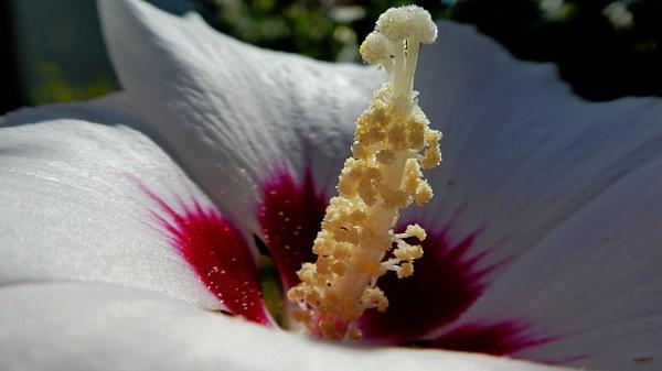 hibiscus flower by elousteve