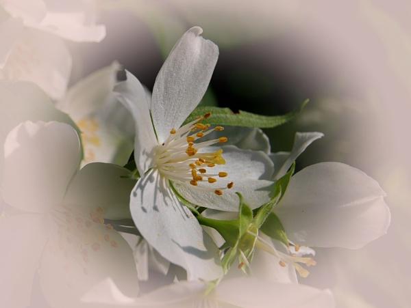 jasmine by elousteve