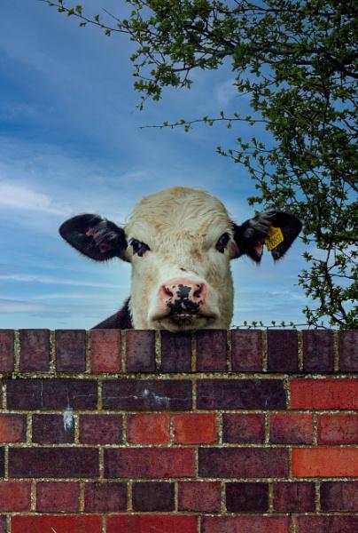 Wat no cows by Ffynnoncadno