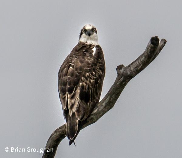 Osprey by bgrphotographer