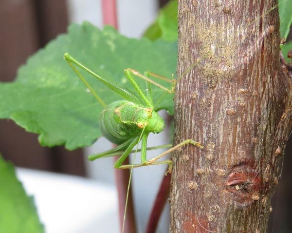 Speckled Bush Cricket by Samantha011208