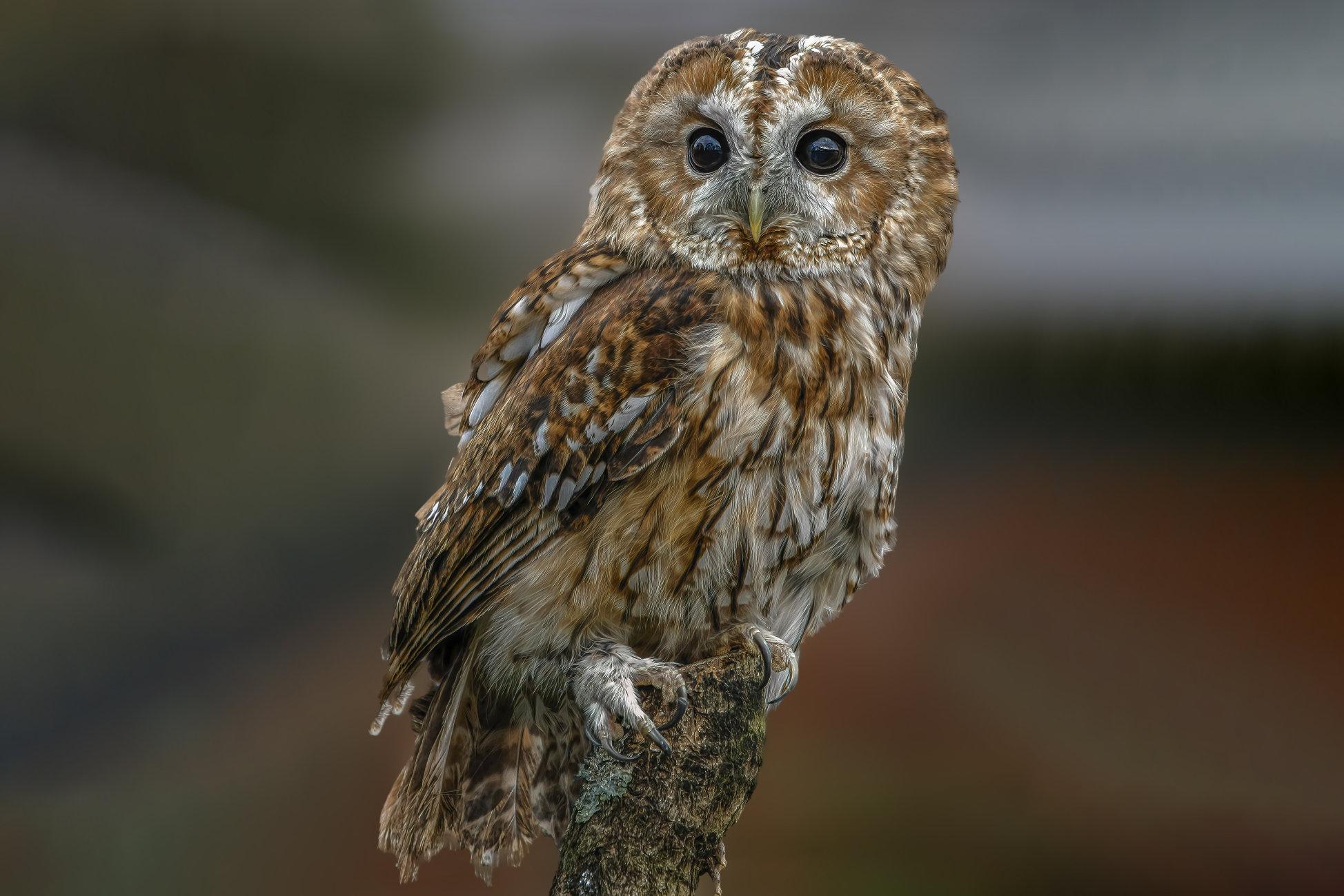 TWANY OWL