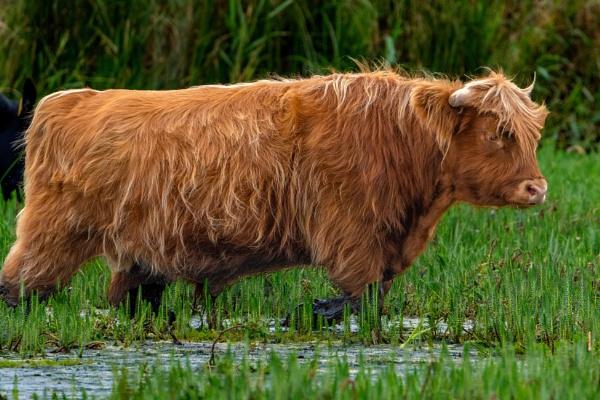 Bullock In A Pond by terra