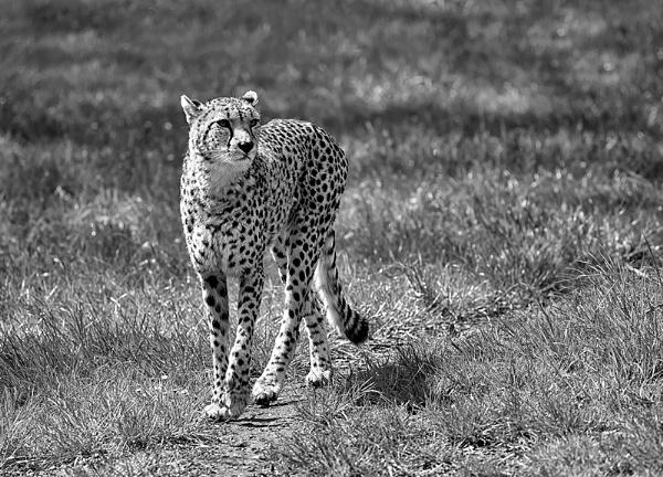 Cheetah by Buffalo_Tom