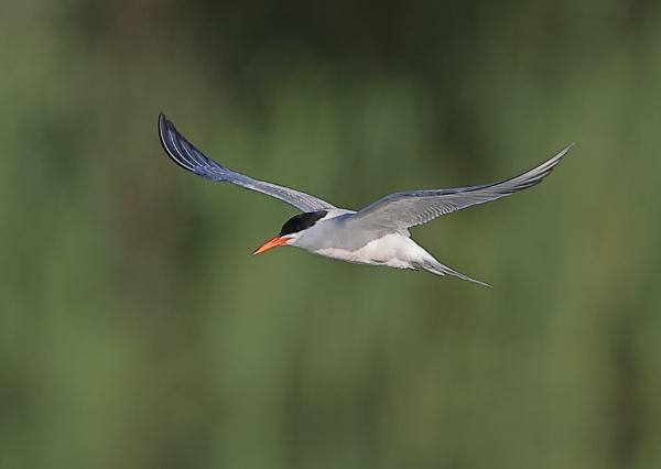 Tern in flight by NeilSchofield