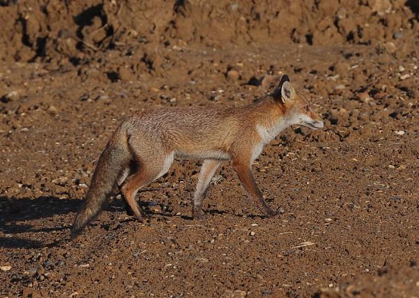 Fox by NeilSchofield