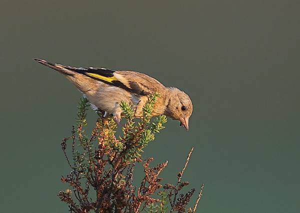 Goldfinch by NeilSchofield