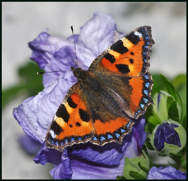 Small Tortoiseshell on Hibiscus :- by Badgerfred