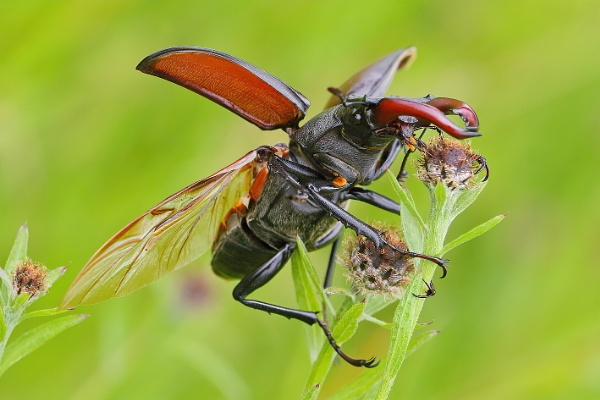 Stag beetle by colin beeley