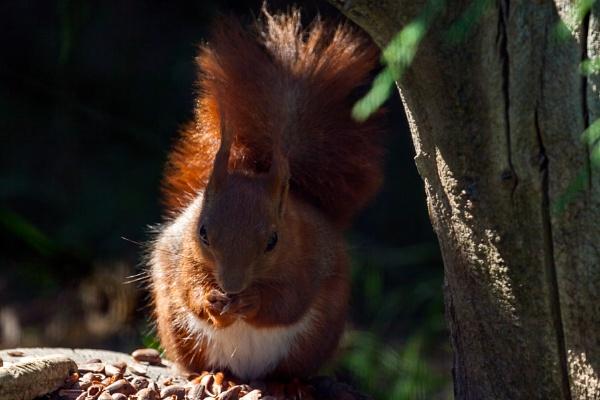 Close-up shot of an Eurasian red squirrel (sciurus vulgaris) by Phil_Bird