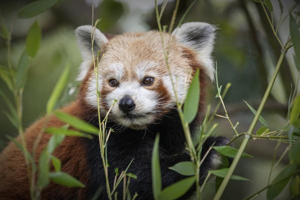 Red Panda by pink